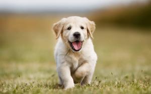 cucciolone e addestramento