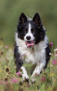 primavera con i nostri cani - cane che corre in un campo di fiori